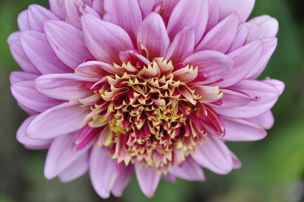 Belle fleur de dahlia rose avec des lepestkamis blancs moyens et brillants dans le plan rapproché du jardin.