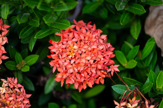 Belle fleur en épi rouge, le roi ixora en fleurs (ixora chinensis) et des feuilles vertes