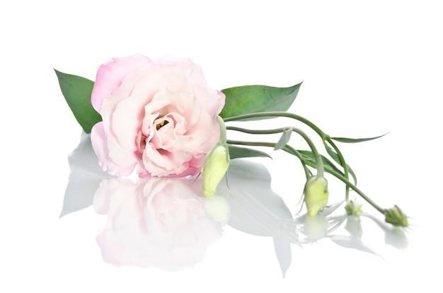 Belle fleur d'eustoma avec des feuilles et des bourgeons sur blanc