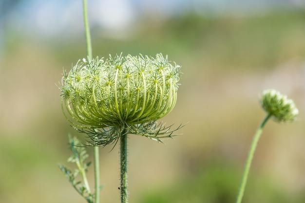 Belle fleur fermée aux pétales minces pousse dans le champ au petit matin.