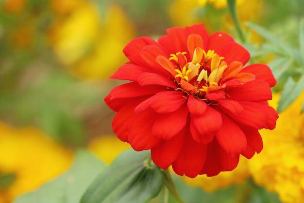 Belle fleur fleurs colorées dans le jardin