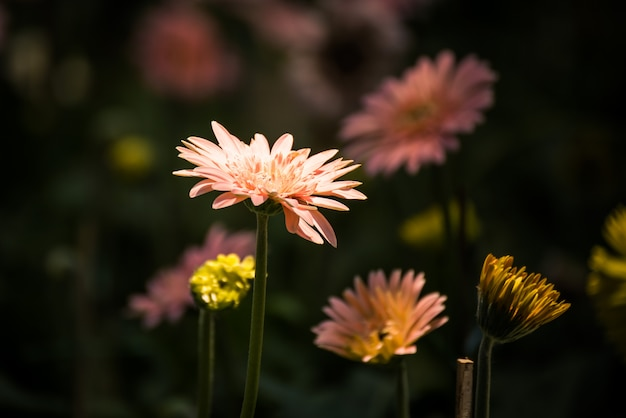 Belle fleur de gerbera qui fleurit dans le jardin. décoration florale. mise au point sélective