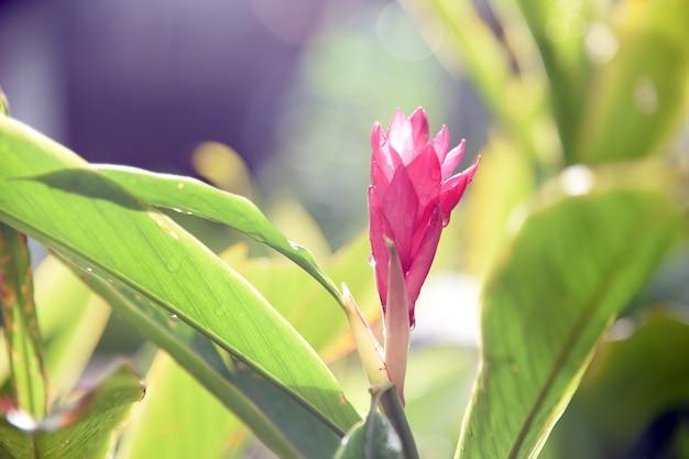 Belle fleur de gingembre rouge tropical, gros plan. alpinia purpurata (vielle.) schum.