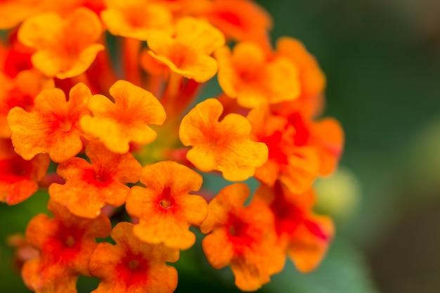 Belle fleur de haie colorée, lantana pleurante, lantana camara linn