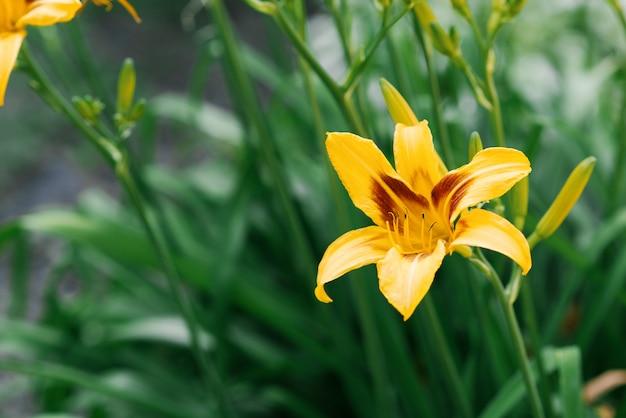 Belle fleur d'hémérocalle jaune en été dans le jardin