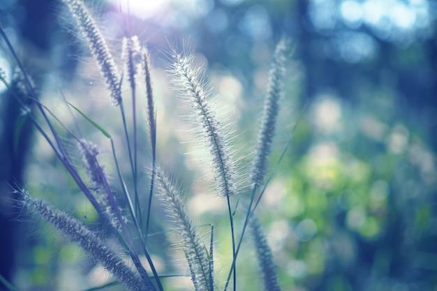 Belle fleur d'herbe avec coucher de soleil pour fond de nature, mise au point douce et floue