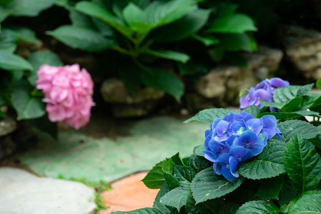Belle fleur d'hortensia bleu ou hortensia