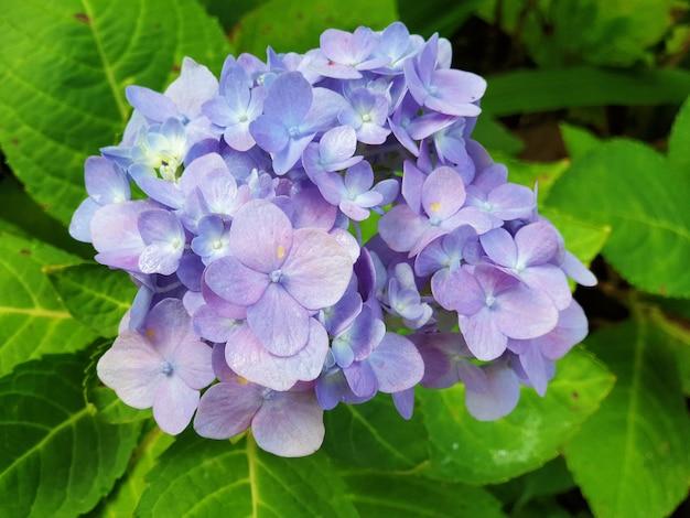 Belle fleur d'hortensia hortensia