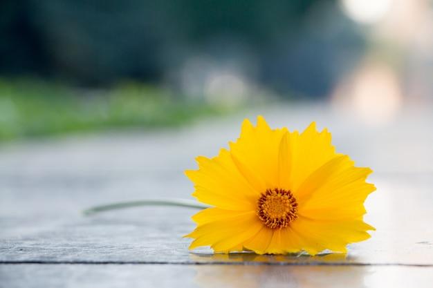 Belle fleur jaune appelée cosmos sulphureus. mise au point sélective.