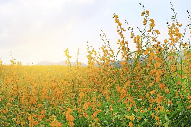 Belle fleur jaune sunhemp dans la nature. paysages et fond naturel.