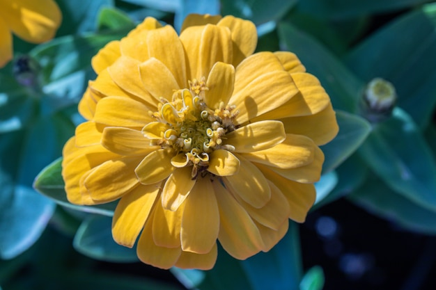 Belle fleur jaune zinnia commune (zinnia elegans) dans le jardin.