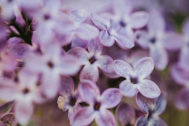 Belle fleur lilas, fond de nature, macro photographie de fleurs.