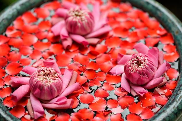 Belle fleur de lotus dans l'étang, gouttelettes d'eau sur le lotus, couleur rose blanche