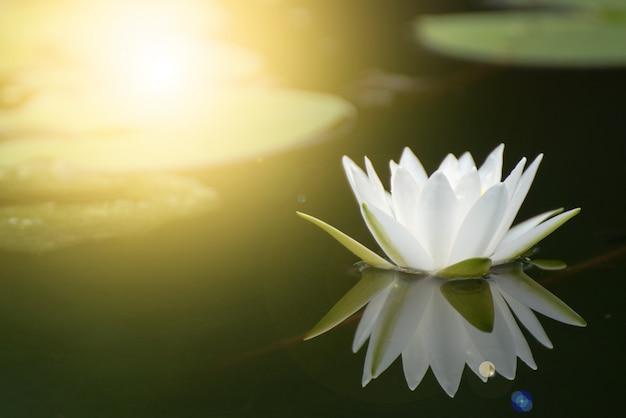 Belle fleur de lotus dans un étang, symbole du bouddha, thaïlande.