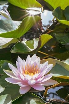 Belle fleur de lotus sur l'eau dans le jardin.