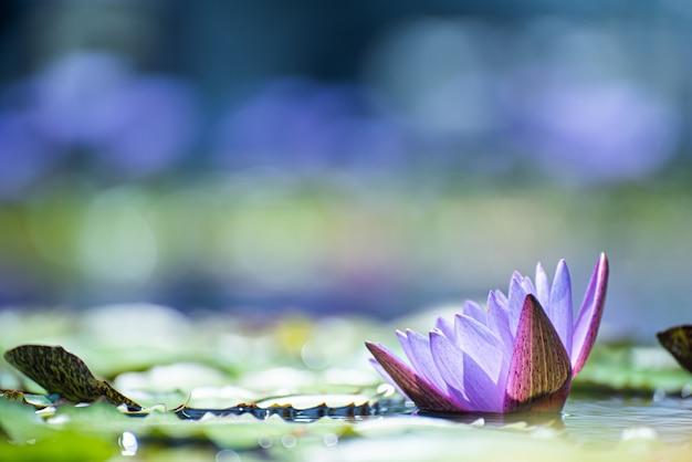 Belle fleur de lotus sur le lac