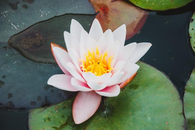 Belle fleur de lotus ou de nénuphar