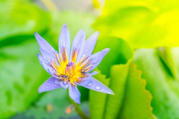 Belle fleur de lotus pourpre avec le pollen jaune.