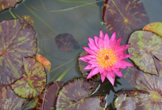 Belle fleur de lotus rose dans un étang, gros plan nénuphar et feuille dans la nature.