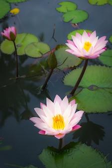 Belle fleur de lotus rose avec feuille verte.