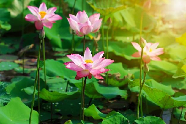 Belle fleur de lotus rose en fleurs