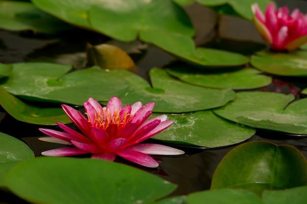 Belle fleur de lotus rose
