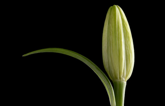 Belle fleur macro isolée sur fond noir