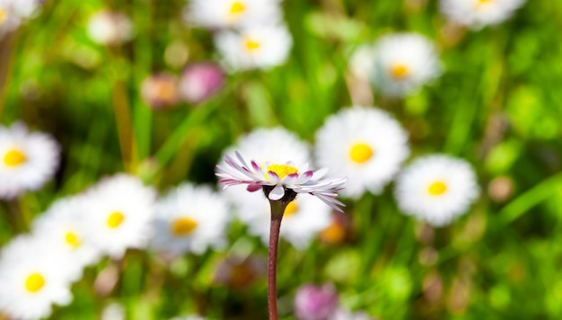 Belle fleur de marguerite sur fond d'herbe verte et autres fleurs