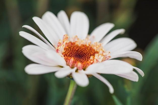 Belle fleur de marguerite fraîche blanche