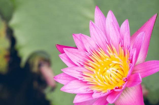 Belle fleur de nénuphar dans l'étang