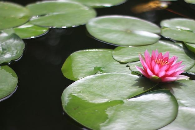 Belle fleur de nénuphar ou de lotus dans l'étang
