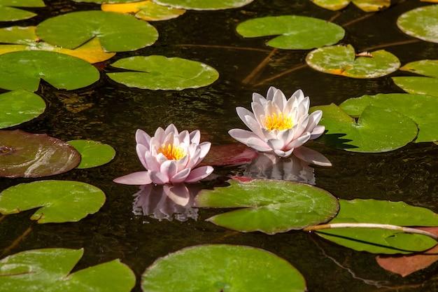 Une belle fleur de nénuphar ou de lotus rose pâle.