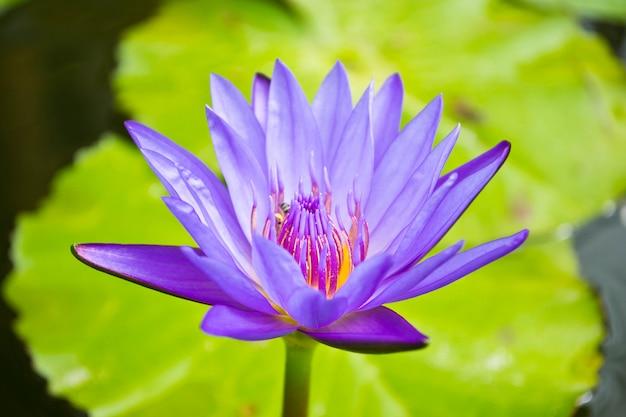 Une belle fleur de nénuphar ou de lotus