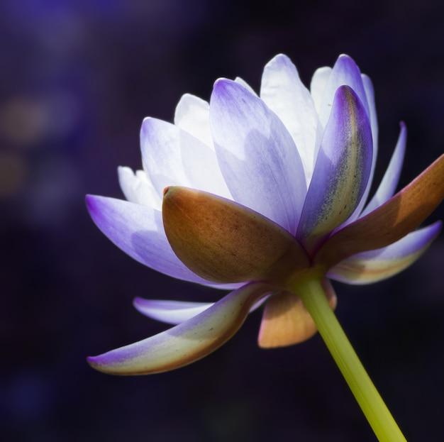 Belle fleur de nénuphar violet (fleur de lotus), format carré.