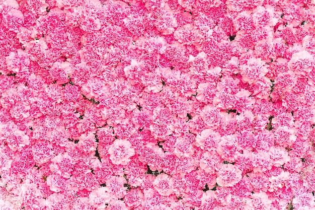 Belle fleur d'oeillet rose, fond de fleur rose de fleur d'oeillet