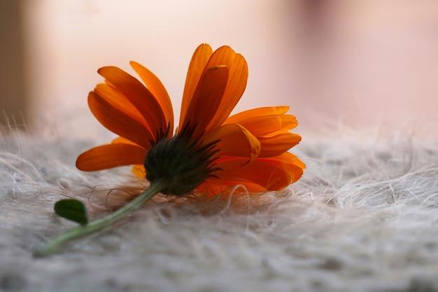 Belle fleur d'oranger dans la nature