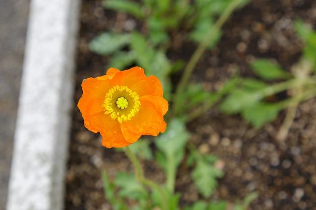 Belle fleur d'oranger qui fleurit dans le jardin.