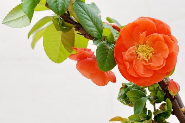 Belle fleur d'oranger