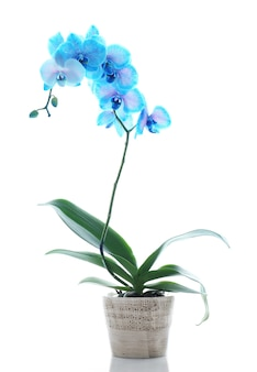 Belle fleur d'orchidée bleue sur blanc