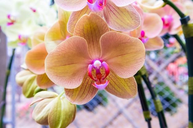 Belle fleur d'orchidée phalaenopsis gros plan
