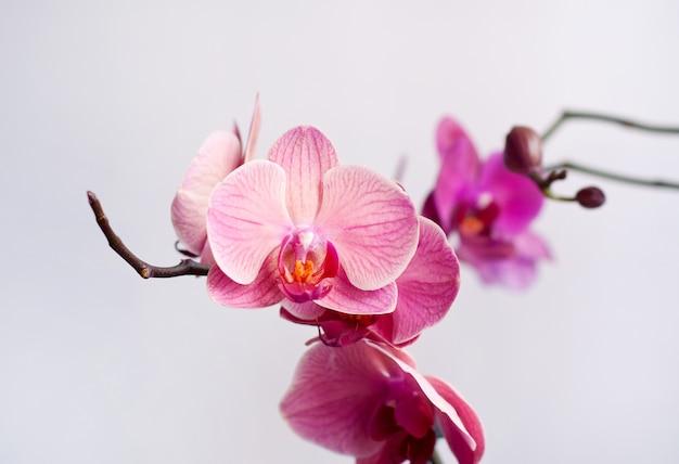 Belle fleur d'orchidée phalaenopsis rose