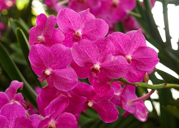 Belle fleur d'orchidée vanda hookerriana violet clair dans le jardin
