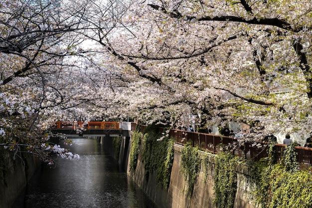 Belle fleur de pêcher au japon