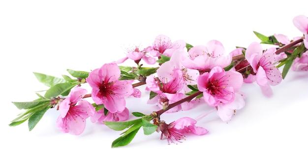 Belle fleur de pêcher rose isolé sur blanc