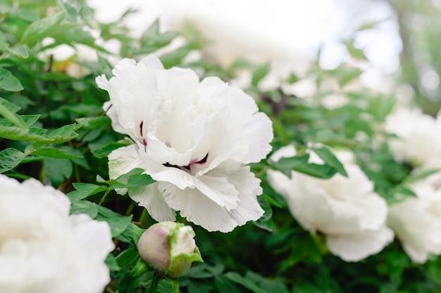 Belle fleur de pivoine blanche en fleurs et bourgeon sur buisson dans le jardin au printemps. une belle pivoine arbustive pendant la floraison. fleurs de jardinage en fleurs.