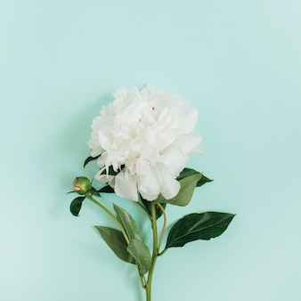 Belle fleur de pivoine blanche sur fond bleu. mise à plat, vue de dessus