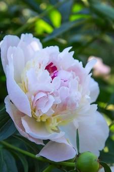 Belle fleur de pivoine en été dans le jardin