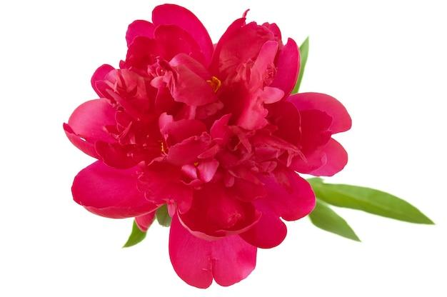 Belle fleur de pivoine isolée