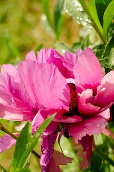 Belle fleur de pivoine rose douce poussant dans le jardin d'été. pivoine d'arbre de montagne.