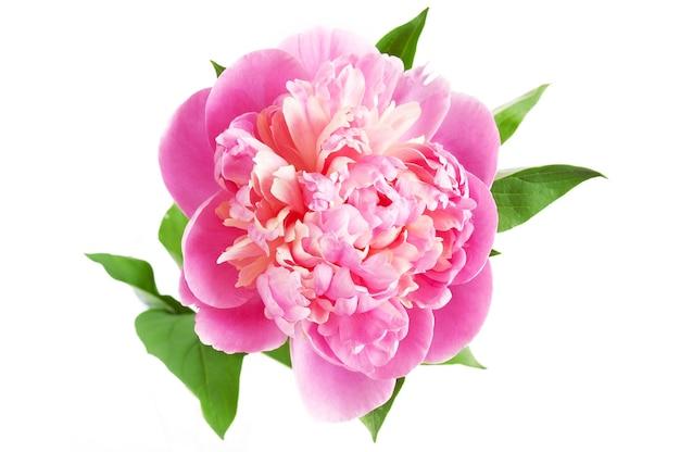 Belle fleur de pivoine rose isolé sur fond blanc
